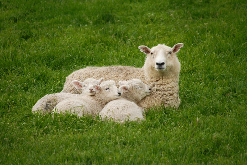 A Sheep and her lambs stock photos