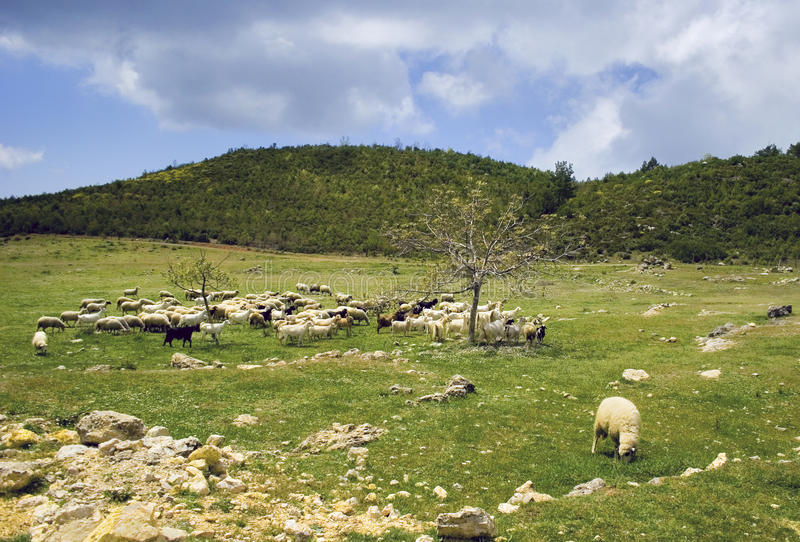 Sheep herd. On mountain plateau pasture royalty free stock photo
