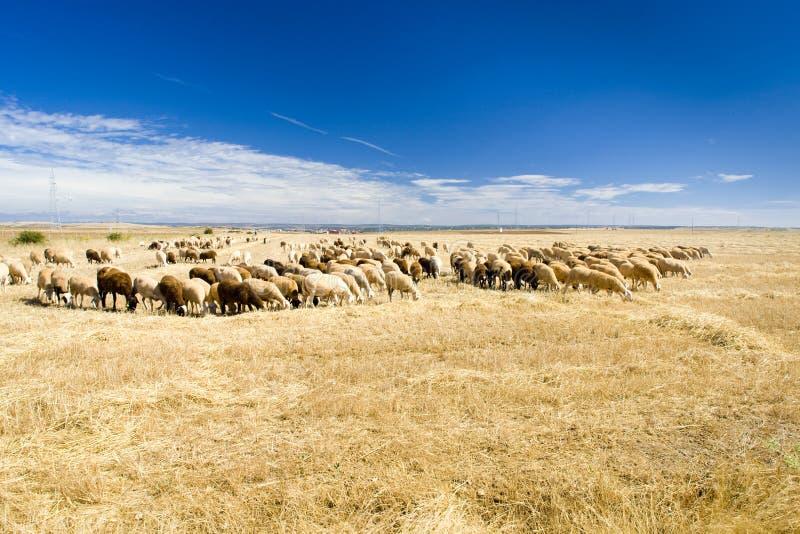 Sheep herd. Zamora Province, Castile and Leon, Spain royalty free stock photos