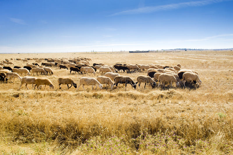 Sheep herd. Zamora Province, Castile and Leon, Spain royalty free stock image