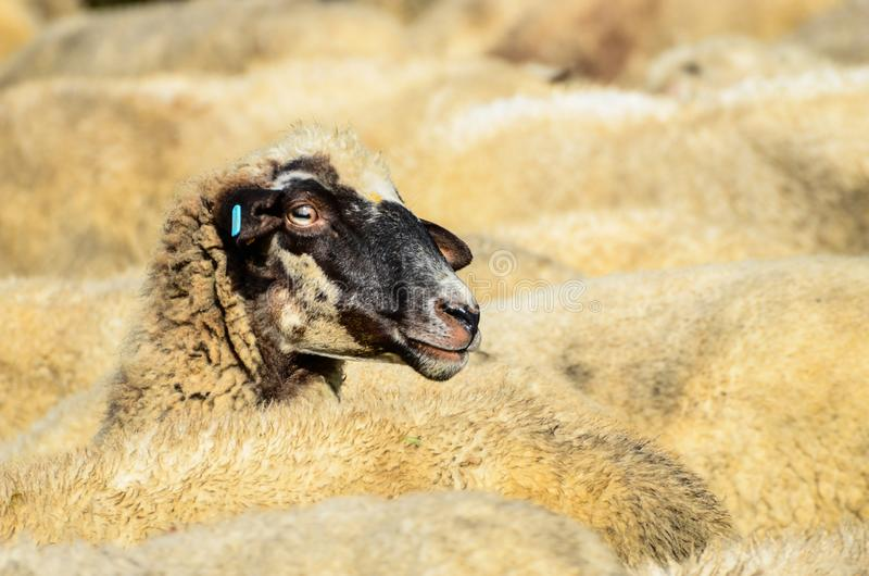 Sheep herd stock photography