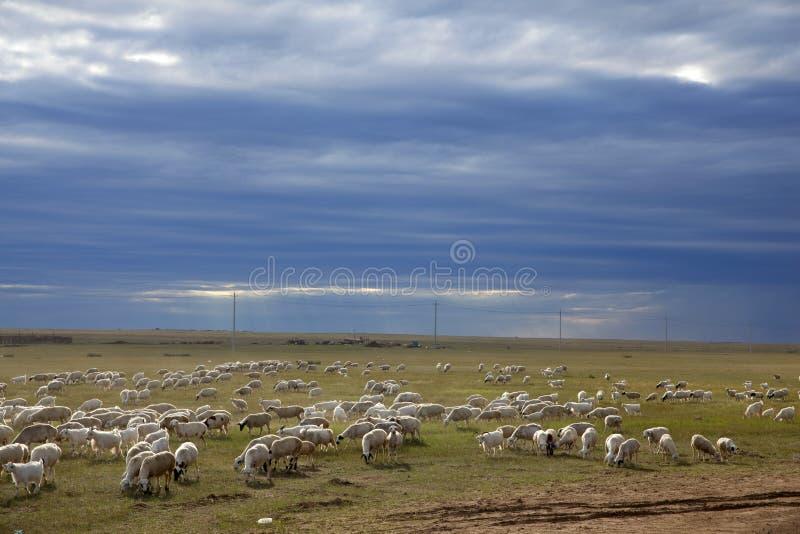 Sheep herd. The massive sheep herd in the dusk of summer prairies, Inner Mongolia, China royalty free stock photo