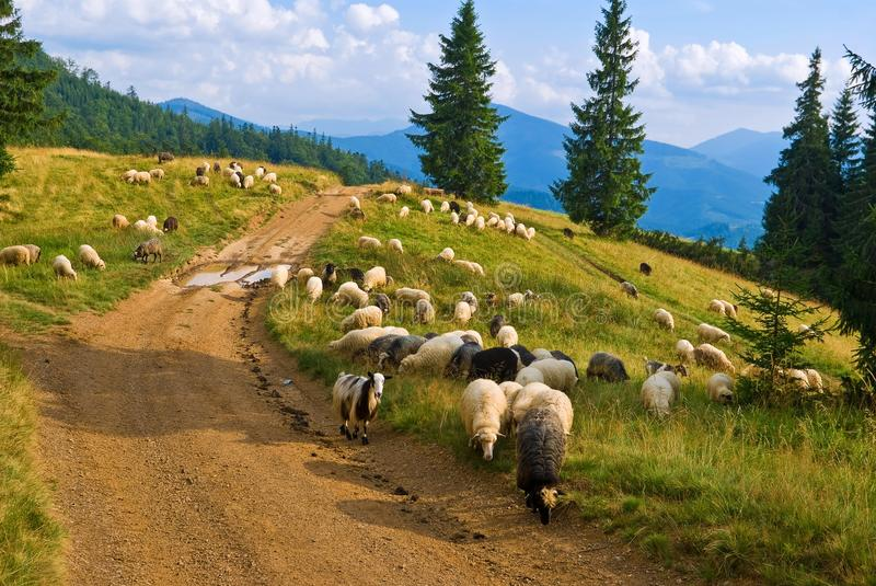Sheep herd. On a mountain pasture royalty free stock image