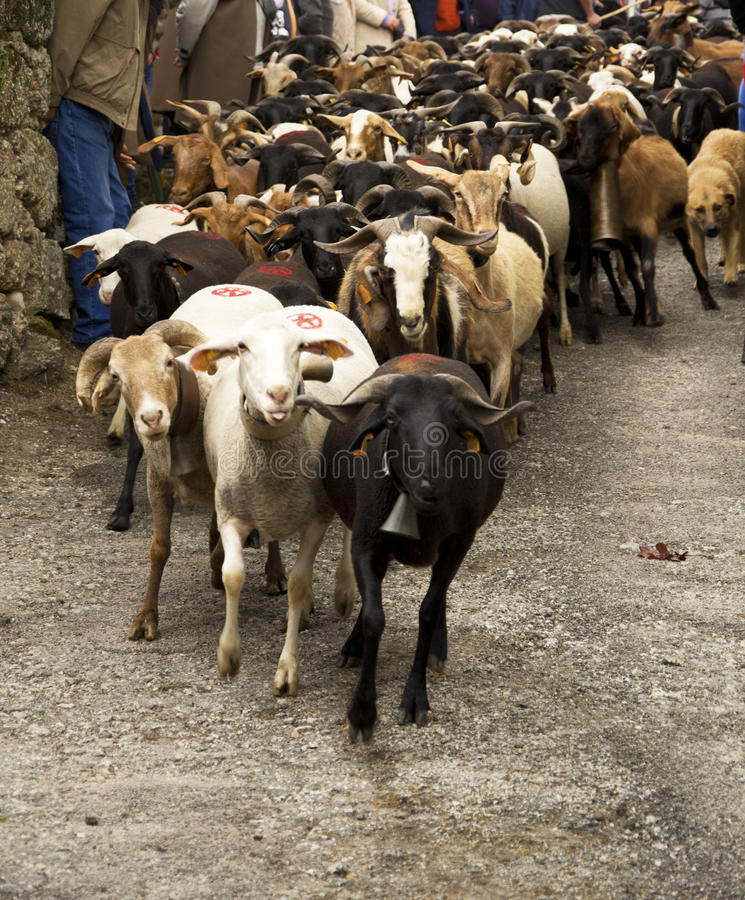 Download Sheep herd editorial stock image. Image of mutton, rural - 24344299