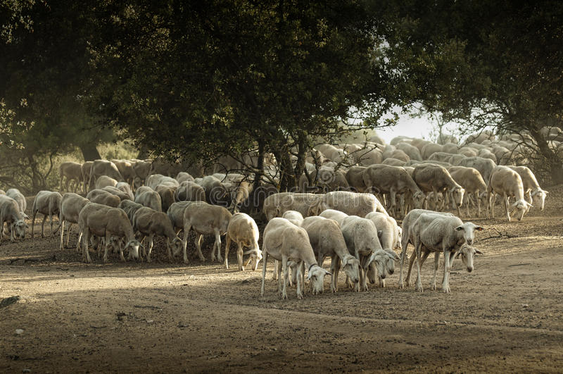 Sheep herd. In mountain. Running sheeps in a farm stock image
