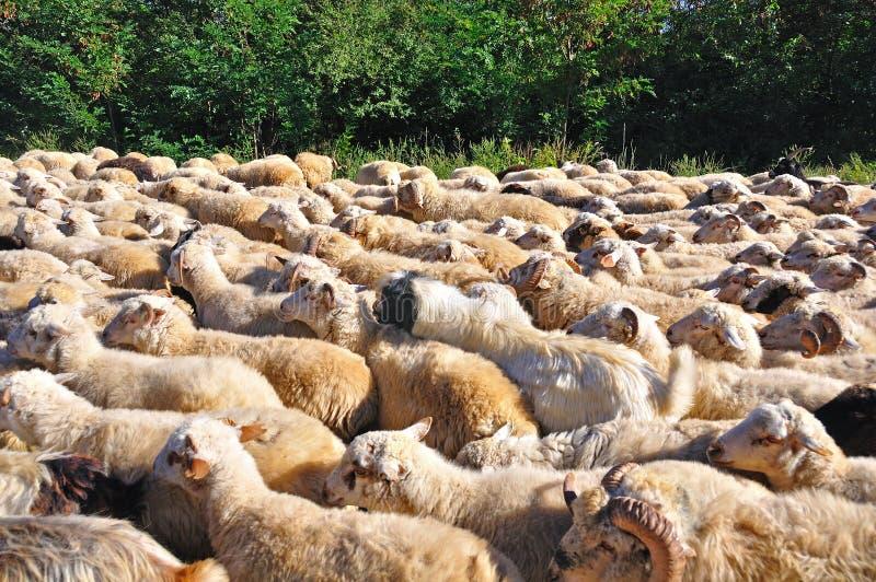 Sheep Herd stock photos
