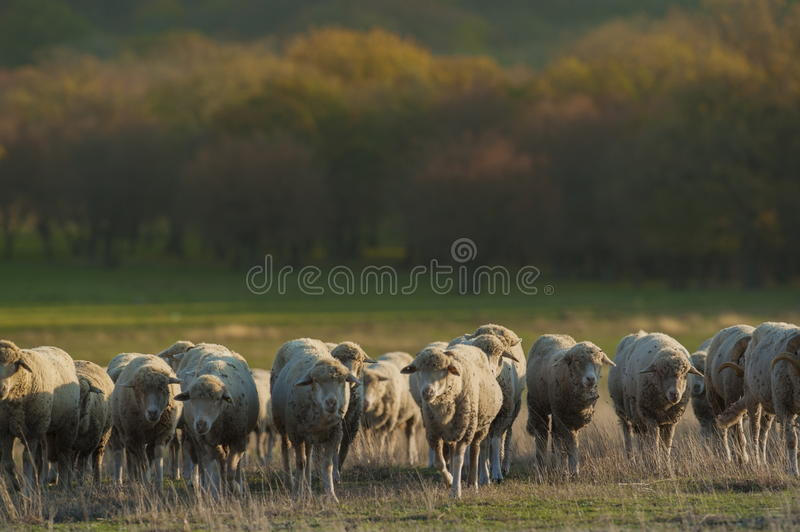 Sheep herd. In autumn meadow royalty free stock photo