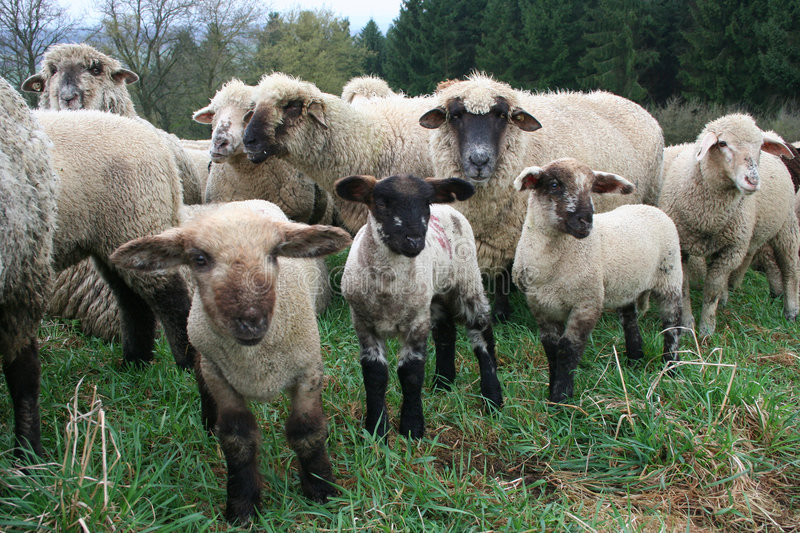 Sheep Herd. In Germany royalty free stock photography