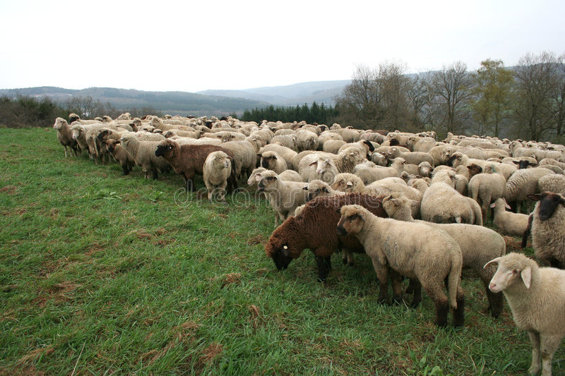 Sheep Herd. In Germany royalty free stock images