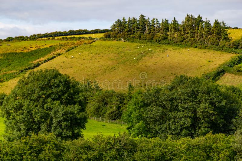 Sheep herd in a Farm field in Greenway route from Castlebar to W. Estport, Ireland royalty free stock photo