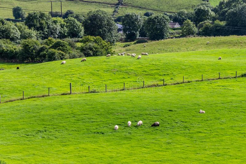 Sheep herd in a Farm field in Greenway route from Castlebar to W. Estport, Ireland royalty free stock image