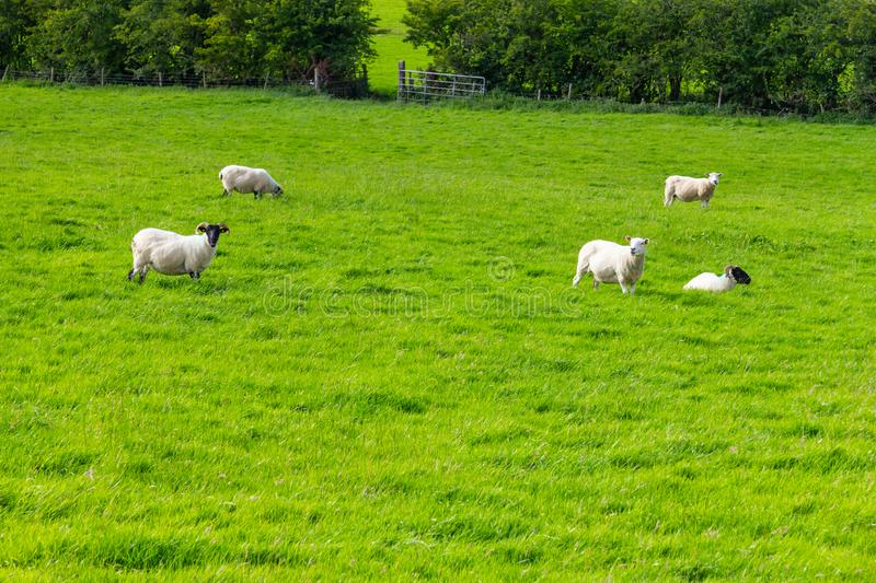 Sheep herd in a Farm field in Greenway route from Castlebar to W. Estport, Ireland stock photos