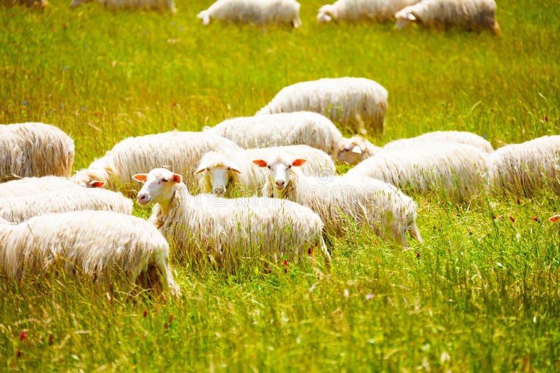 Sheep herd on the farm. Grazing grass with one looking at camera stock photography