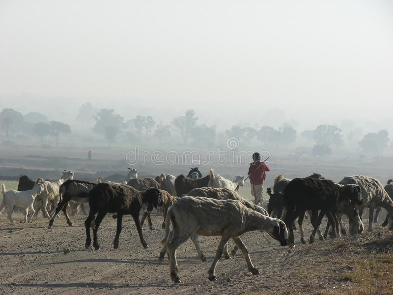 Sheep Herd Flock with Shepherd. Sheep Flock Herd and Shepherd during Foggy Winter Morning in India royalty free stock images