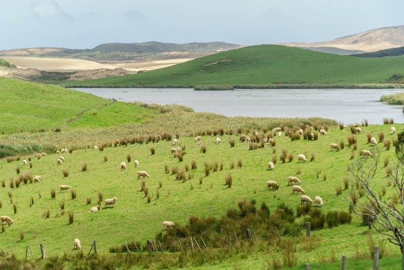Sheep herd grazing on beautiful green field near lake on cloudy day,. New Zealand stock photo