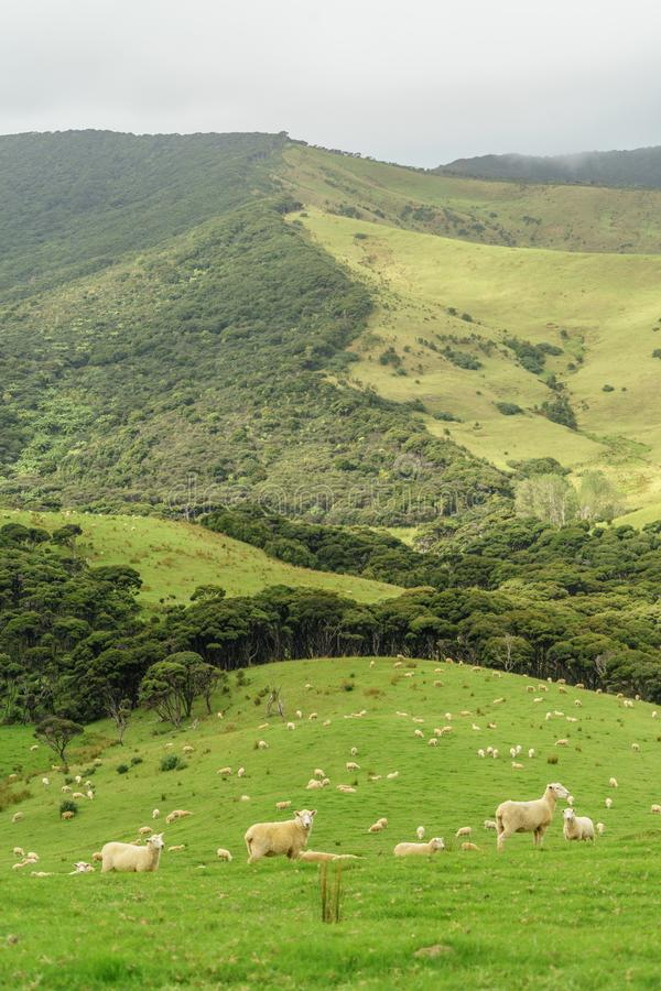 Sheep herd grazing on beautiful green hill,. New Zealand stock photo