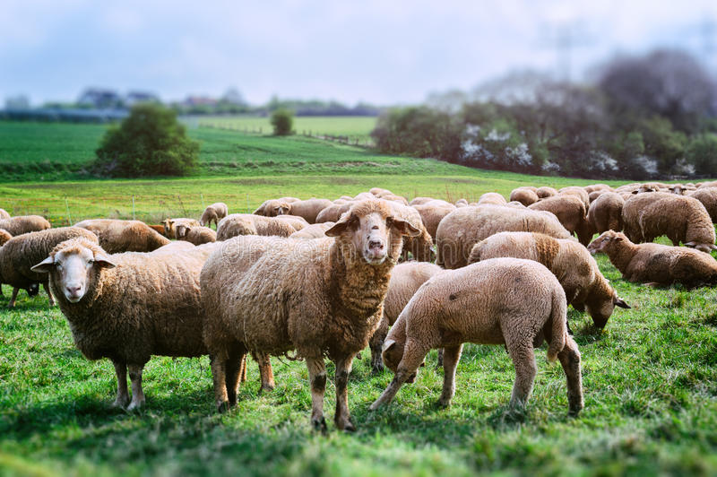 Sheep herd. At green field stock photo