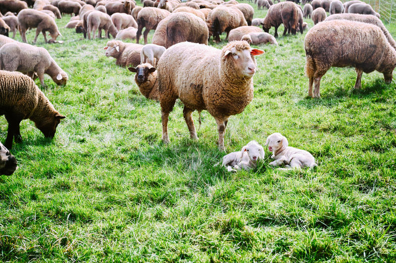 Sheep herd at green field. Sheep herd with baby lambs at green field royalty free stock photo