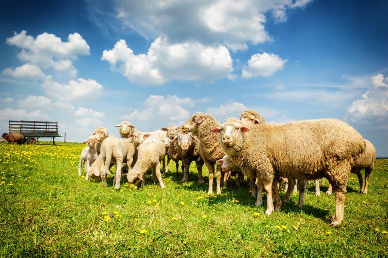 Sheep herd at green field. Sheep herd at summer green field royalty free stock photos
