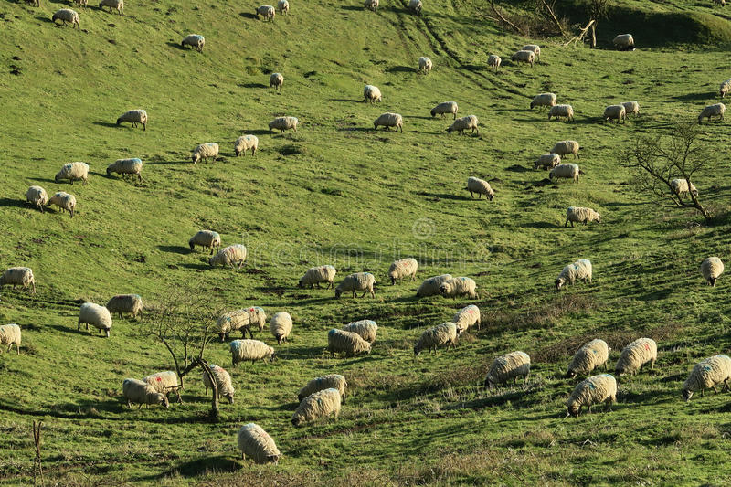 Sheep Herd On Green Grass Field Free Public Domain Cc0 Image