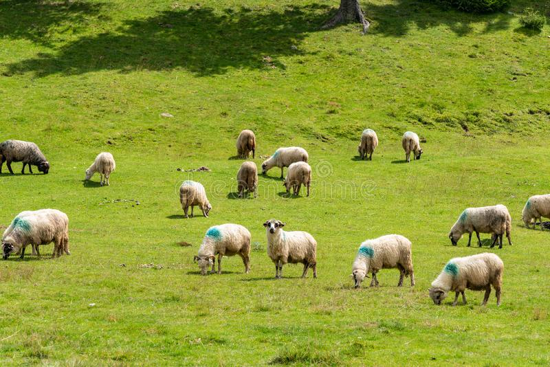 Sheep herd in the mountains. Sheep herd and green landscape in the mountains, Padis, Romania royalty free stock photo