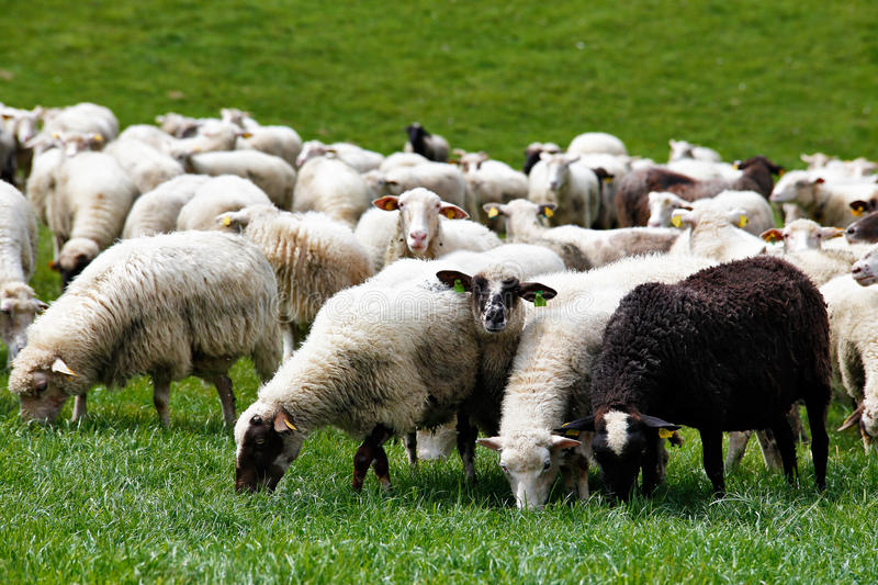 Sheep herd in a green meadow. Spring fields and meadows.  royalty free stock photography