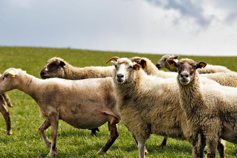 Sheep herd in a green meadow. Spring fields and meadows.  stock photo