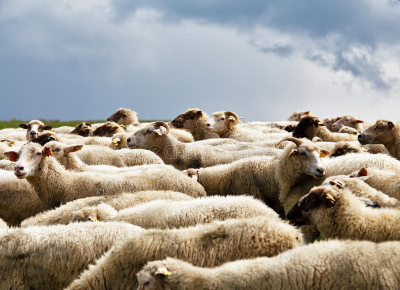 Sheep herd in a green meadow. Spring fields and meadows.  stock photos