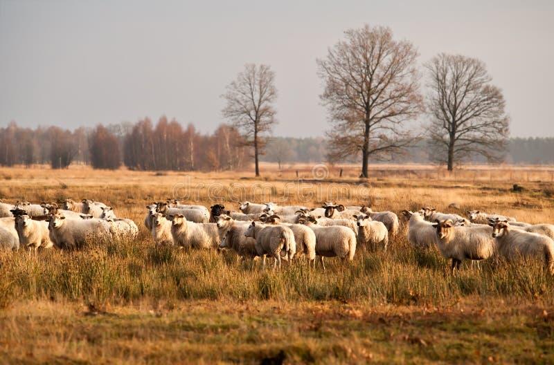 Sheep herd before sunset in Dwingelderveld. Sheep herd on meadows before sunset in Dwingelderveld royalty free stock photo