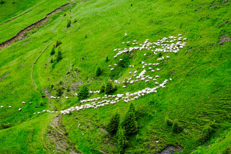 Sheep Herd. Mountain landscape shoot with sheep herd on the green hills stock image