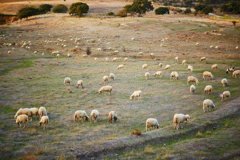 Sheep herd on pasture in Sardinia. Italy stock photos