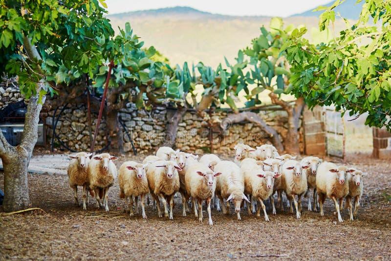 Sheep herd on pasture in Sardinia. Italy royalty free stock photo