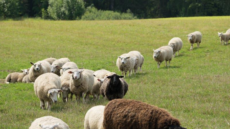 Sheep herd in pastureland. Sheep herd in summer pastureland royalty free stock image
