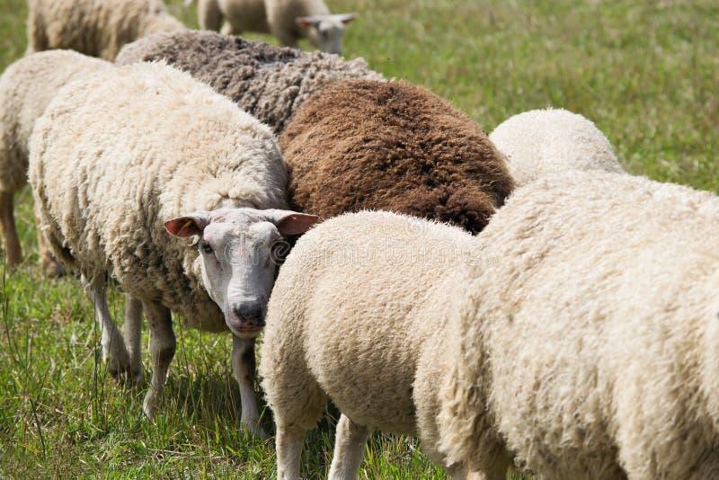 Sheep herd in pastureland. Sheep herd in summer pastureland, closeup royalty free stock photos