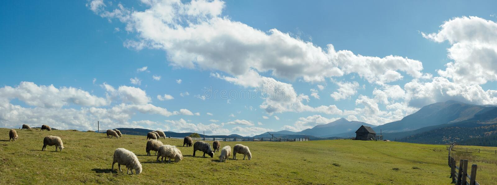 Sheep herd on plateau. Sheep herd on mountain plateau pasture (Carpathian mountain, Ukraine). In opposite sunlight direction. Five shots stitch image royalty free stock photography