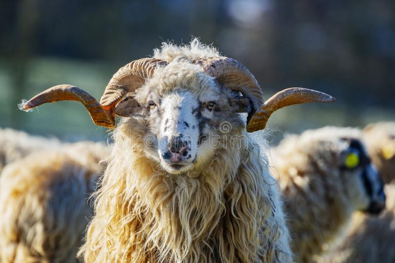 A sheep herd with ram breed - valaska. Close up in winter stock photography