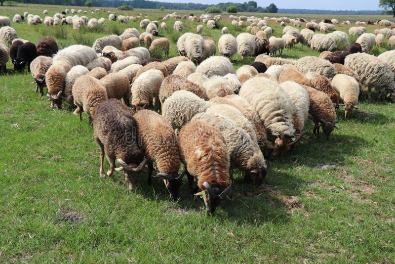 Sheep herd. In Ruinen, the Netherlands stock photo