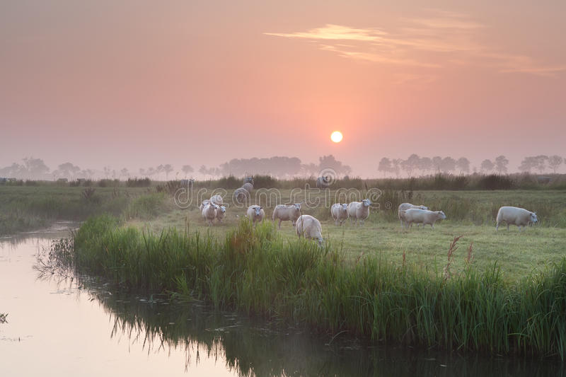 Sheep herd at sunrise on pasture. By river royalty free stock image