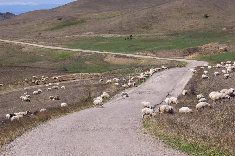 Sheep horde crossing road stock images