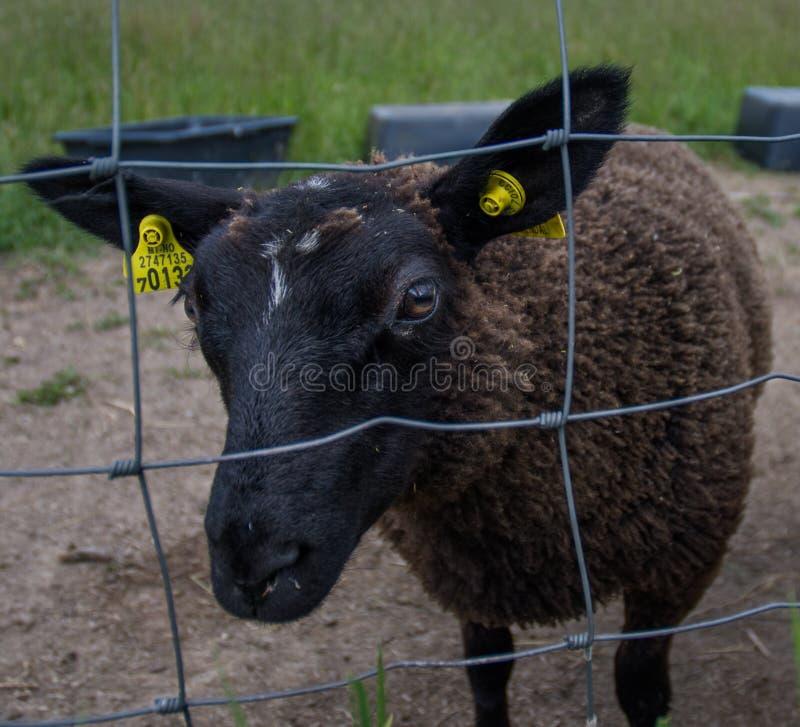 Sheep, Horn, Cow Goat Family, Grass royalty free stock photos