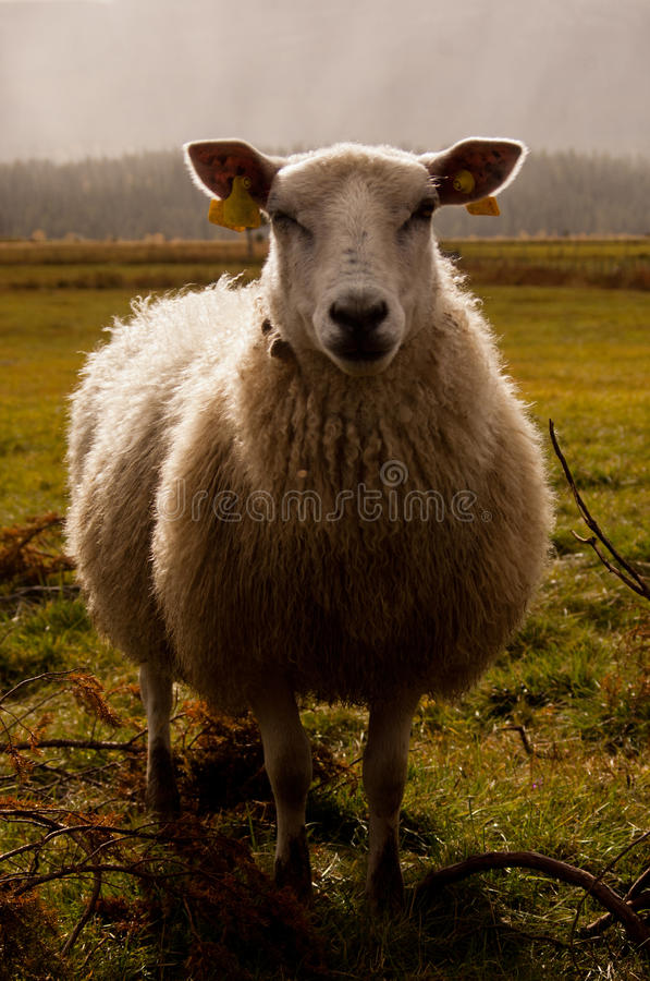 Dolly the Sheep royalty free stock photography