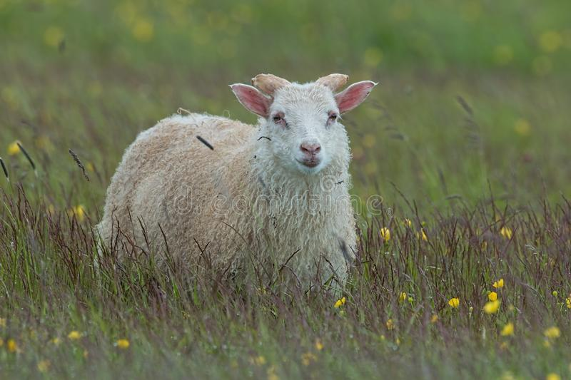 Sheep in Iceland on a medow with yellow flowers. stock image