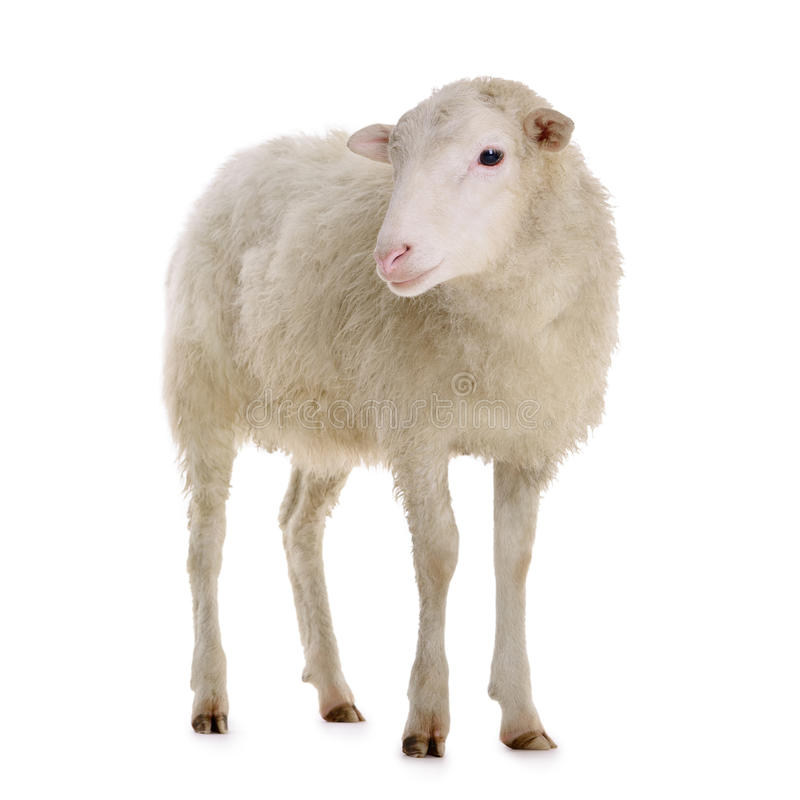 Free Sheep Isolated On White Royalty Free Stock Images - 44660759