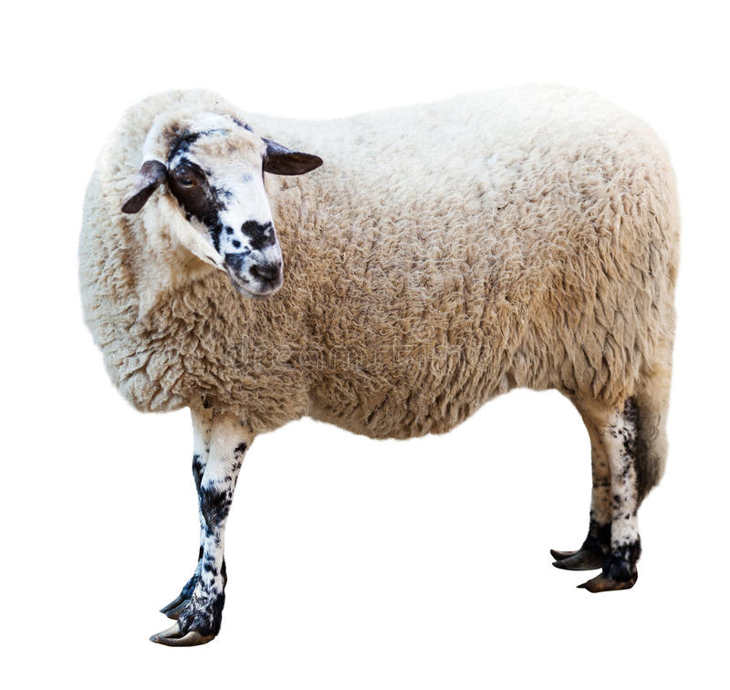 Sheep. Isolated over white stock photo
