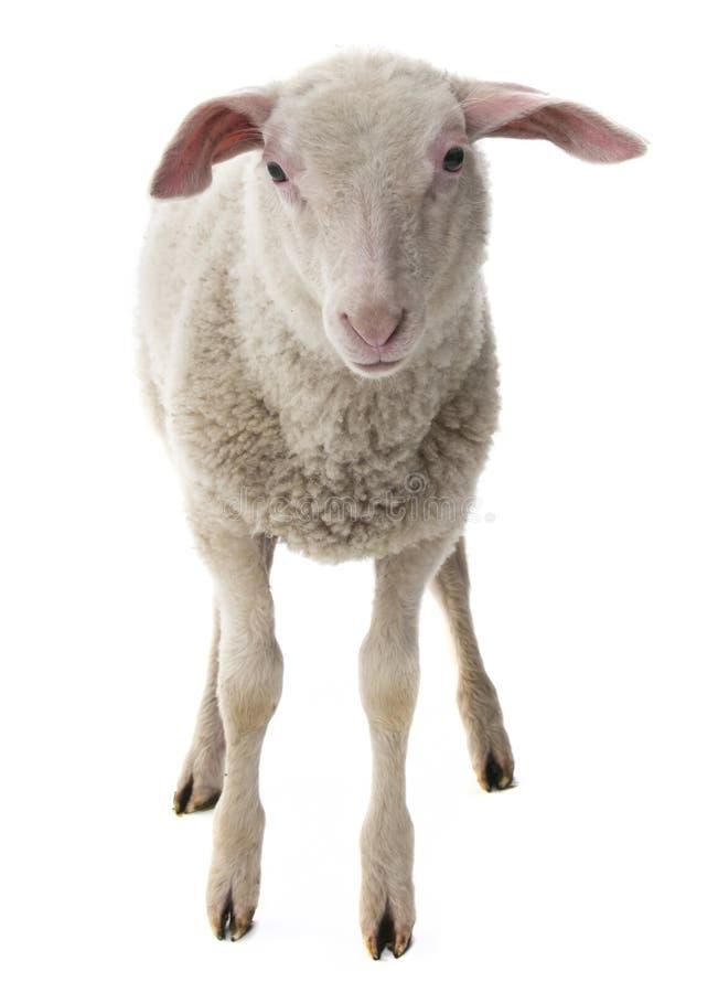 Sheep isolated stock image