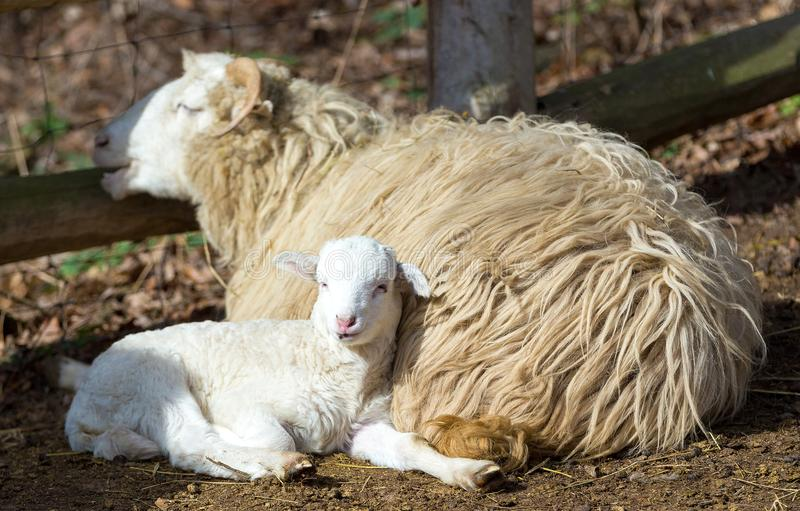 Sheep with lamb, easter symbol royalty free stock photography