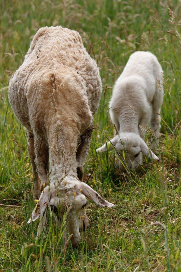 Sheep and lamb eating
