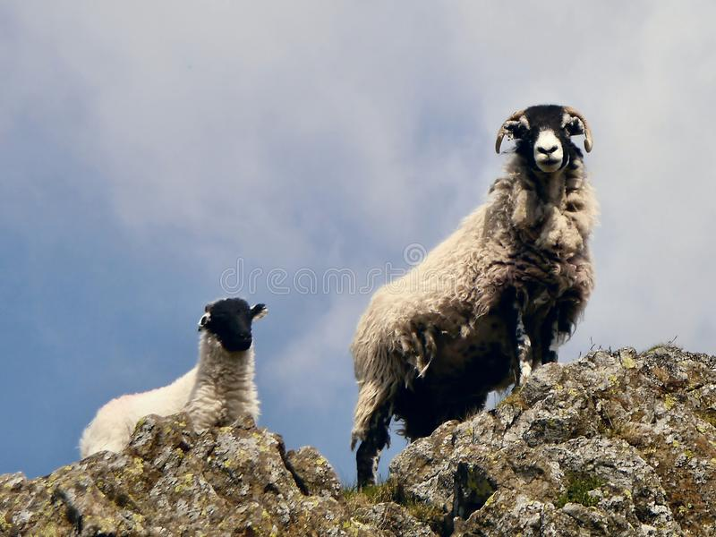 Sheep and lamb overlooking rock stock image