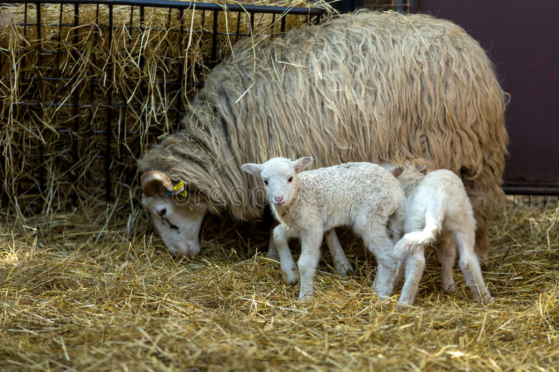 Sheep with lamb on rural farm stock photography