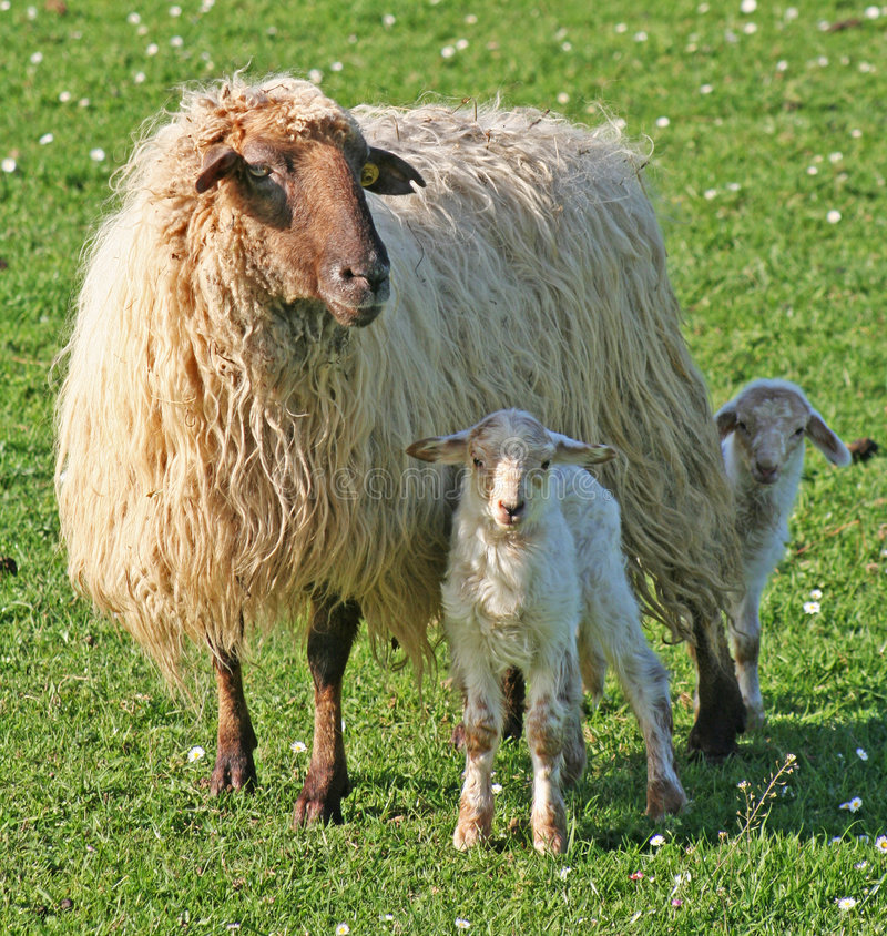 Download Sheep with lambs stock photo. Image of look, field, young - 8711340